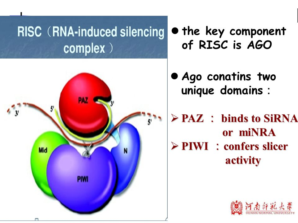 the key component of RISC is AGO Ago conatins two unique domains :  PAZ : binds to SiRNA or miNRA or miNRA  PIWI : confers slicer activity activity