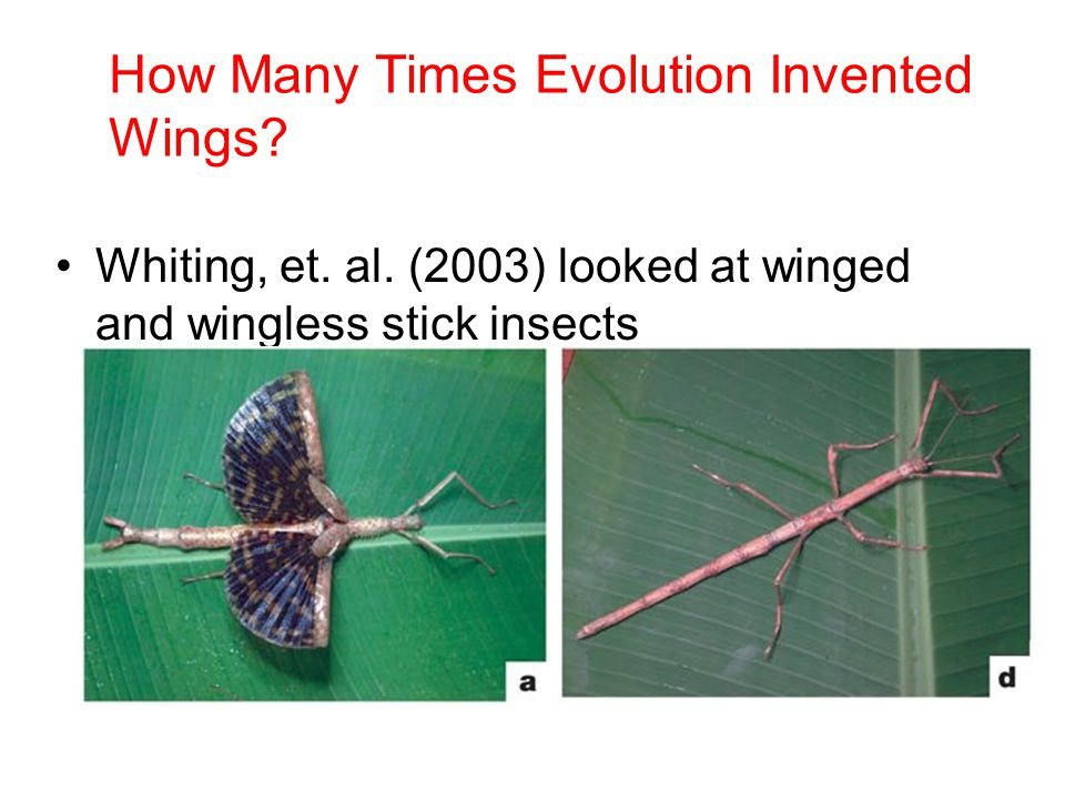 How Many Times Evolution Invented Wings? Whiting, et. al. (2003) looked at winged and wingless stick insects