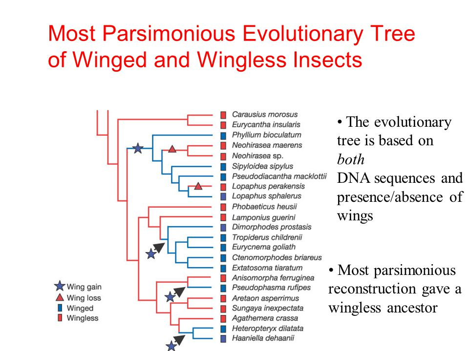 Most Parsimonious Evolutionary Tree of Winged and Wingless Insects The evolutionary tree is based on both DNA sequences and presence/absence of wings