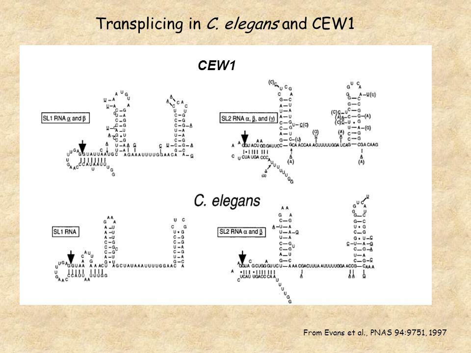 CEW1 Transplicing in C. elegans and CEW1 From Evans et al., PNAS 94:9751, 1997
