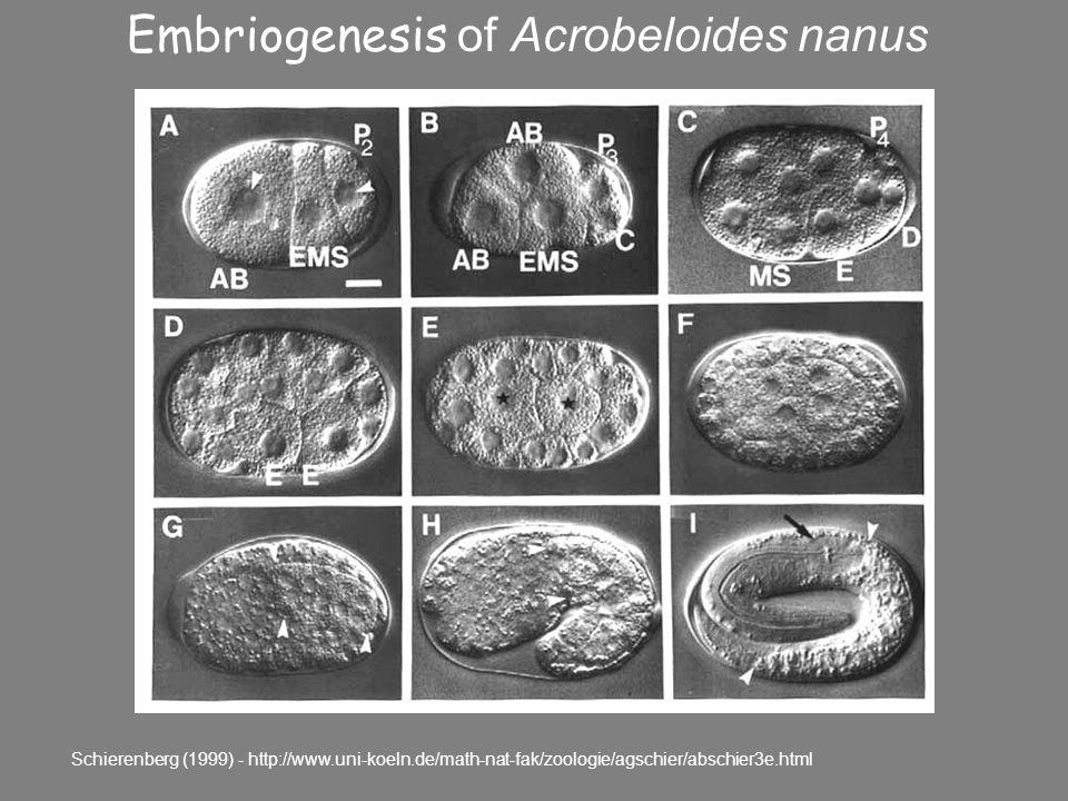 Embriogenesis of Acrobeloides nanus Schierenberg (1999) - http://www.uni-koeln.de/math-nat-fak/zoologie/agschier/abschier3e.html