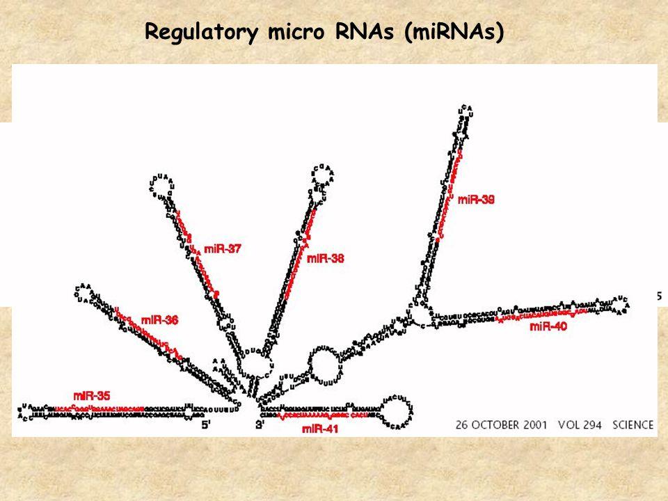 Regulatory micro RNAs (miRNAs)