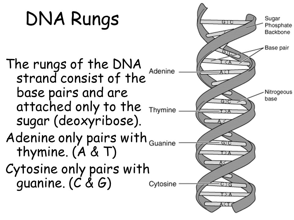 DNA Rungs The rungs of the DNA strand consist of the base pairs and are attached only to the sugar (deoxyribose).