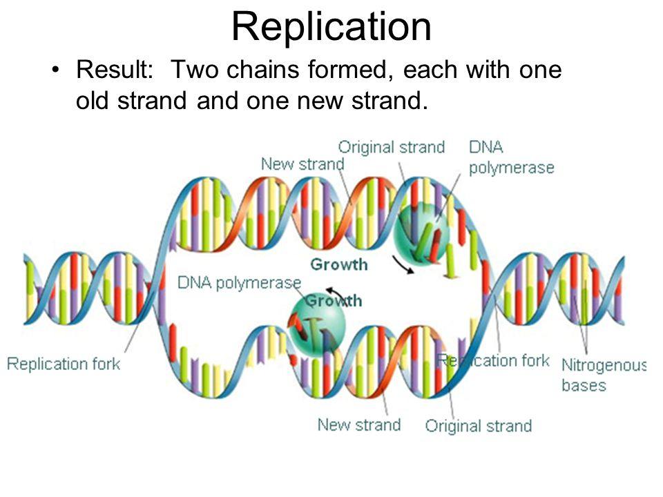 Replication Result: Two chains formed, each with one old strand and one new strand.