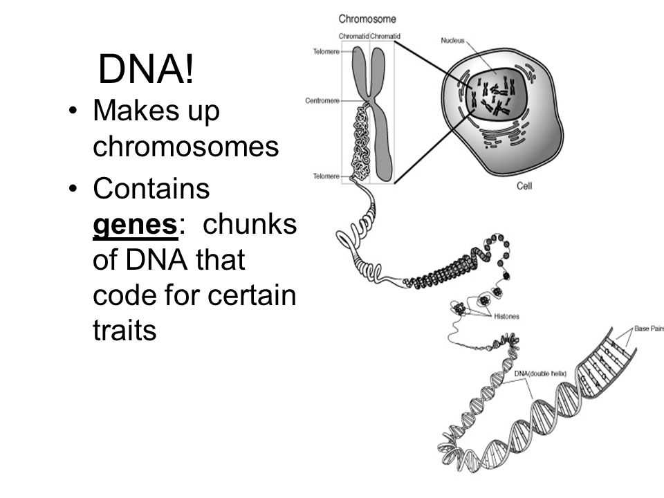 DNA! Makes up chromosomes Contains genes: chunks of DNA that code for certain traits
