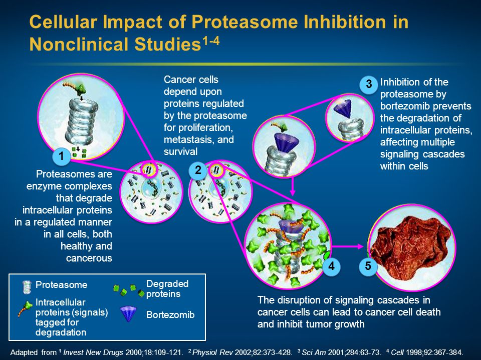Cellular Impact of Proteasome Inhibition in Nonclinical Studies 1-4 Proteasomes are enzyme complexes that degrade intracellular proteins in a regulate