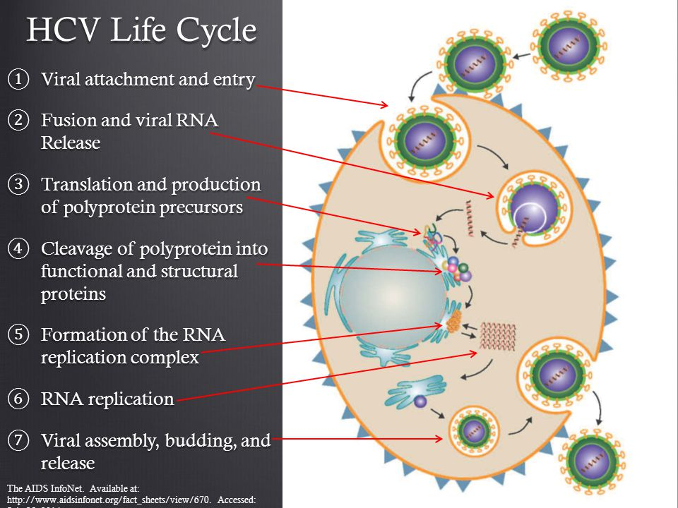 HCV Life Cycle ① Viral attachment and entry ② Fusion and viral RNA Release ③ Translation and production of polyprotein precursors ④ Cleavage of polypr