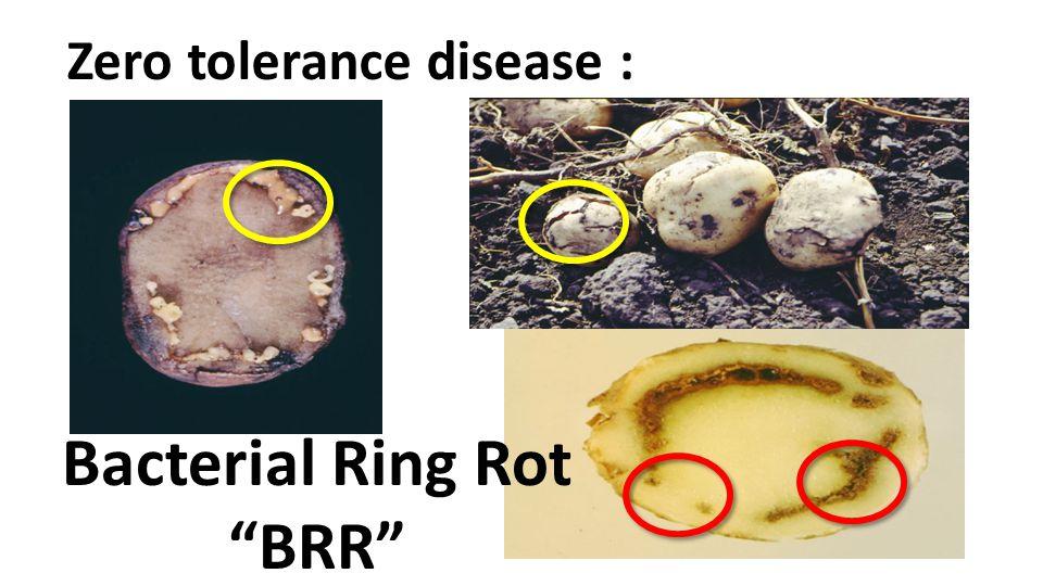 Bacterial Ring Rot BRR Zero tolerance disease :