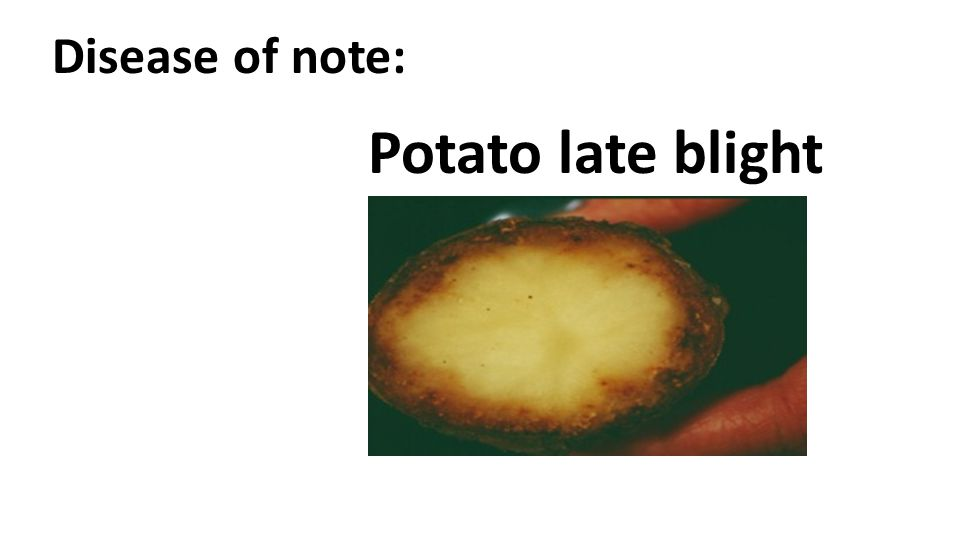 Disease of note: Potato late blight