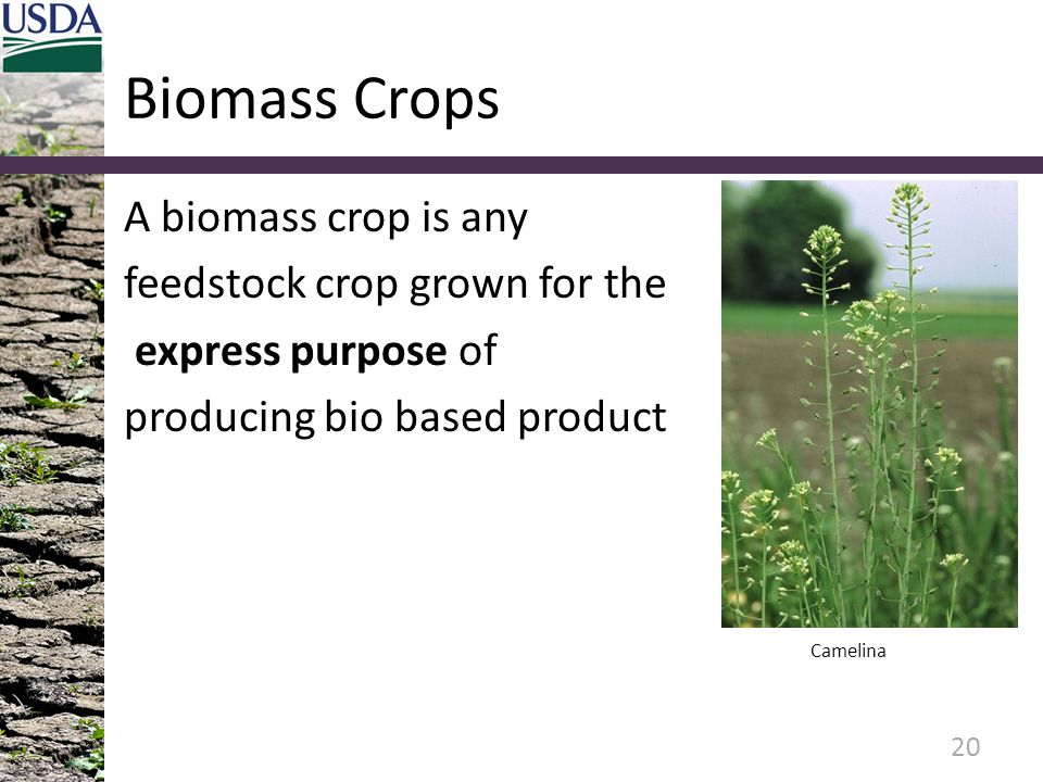 Biomass Crops A biomass crop is any feedstock crop grown for the express purpose of producing bio based product 20 Camelina