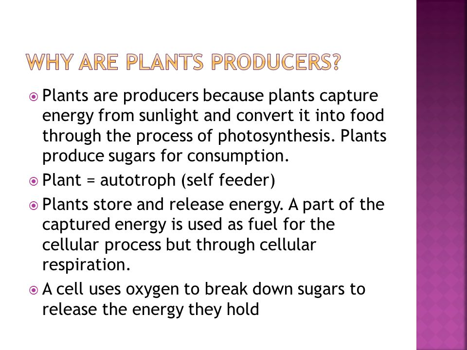  Plants are producers because plants capture energy from sunlight and convert it into food through the process of photosynthesis. Plants produce suga