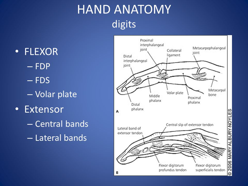 HAND ANATOMY digits FLEXOR – FDP – FDS – Volar plate Extensor – Central bands – Lateral bands