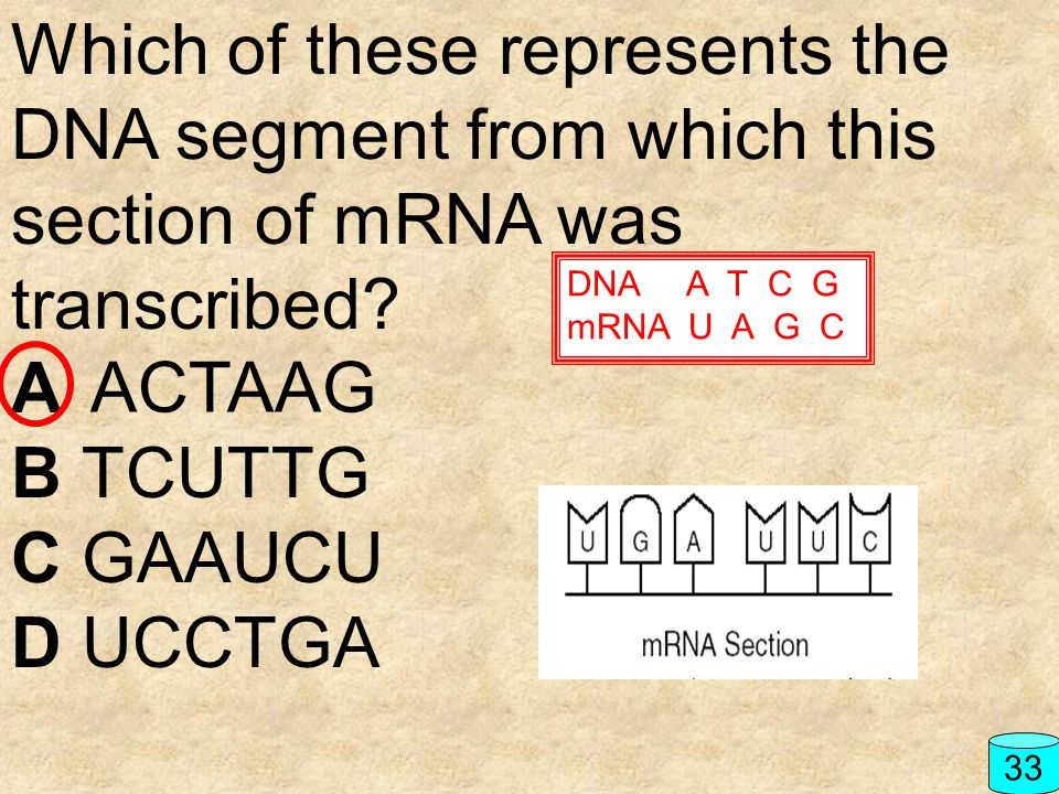 Which of these represents the DNA segment from which this section of mRNA was transcribed? A B TCUTTG C GAAUCU D UCCTGA 33 ACTAAG DNA A T C G mRNA U A