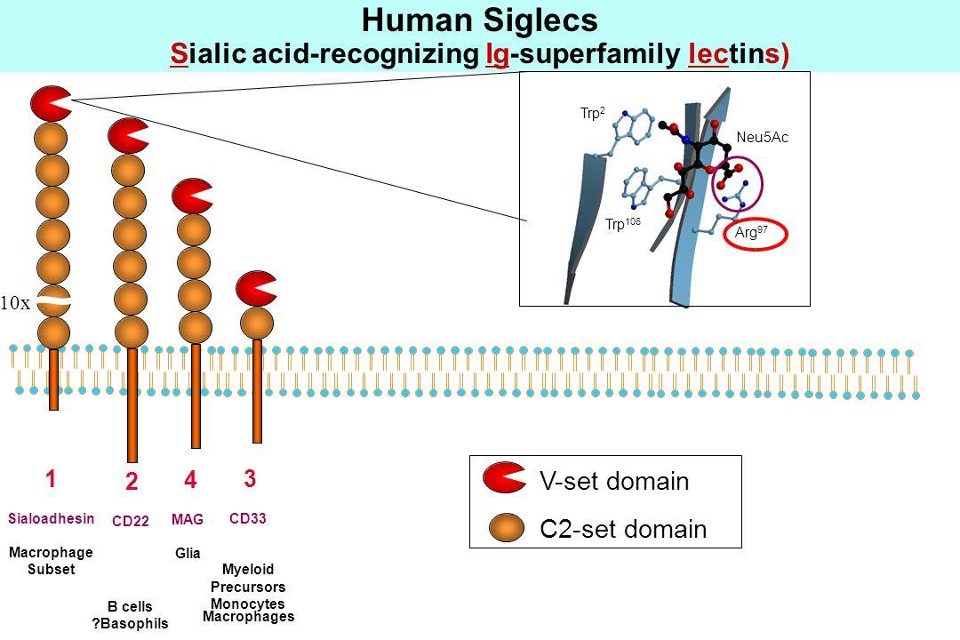10x V-set domain C2-set domain 1 Sialoadhesin Macrophage Subset 2 CD22 B cells Basophils 4 MAG Glia 3 CD33 Myeloid Precursors Monocytes Macrophages Human Siglecs Sialic acid-recognizing Ig-superfamily lectins) A F G Arg 97 Trp 2 Trp 106 Neu5Ac