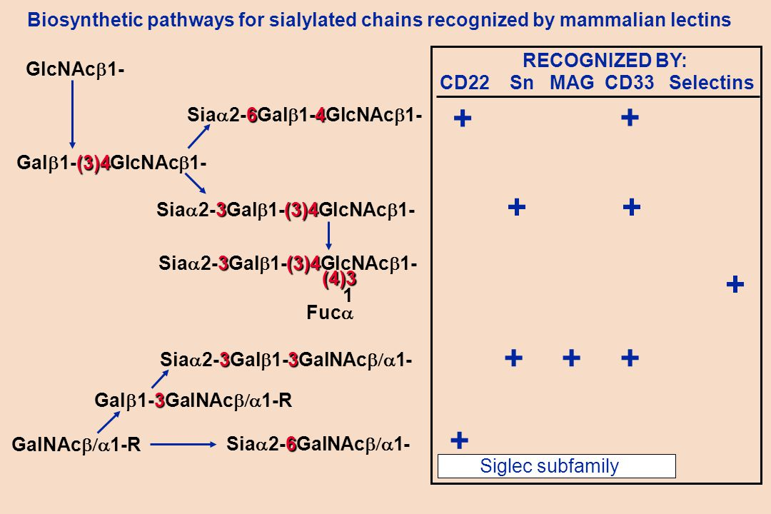 Biosynthetic pathways for sialylated chains recognized by mammalian lectins (3)4 Gal  1-(3)4GlcNAc  1- GlcNAc  1- RECOGNIZED BY: CD22 Sn MAG CD33 Selectins + + 3(3)4 Sia  2-3Gal  1-(3)4GlcNAc  1- GalNAc  1-R 3 Gal  1-3GalNAc  1-R + + + 33 Sia  2-3Gal  1-3GalNAc  1- + 6 Sia  2-6GalNAc  1- 3(3)4 Sia  2-3Gal  1-(3)4GlcNAc  1- (4)3 1 Fuc  + Siglec subfamily 64 Sia  2-6Gal  1-4GlcNAc  1- + +