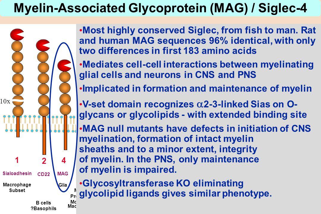 10x 1 Sialoadhesin Macrophage Subset 2 CD22 B cells ?Basophils 4 MAG Glia 3 CD33 Myeloid Precursors Monocytes Macrophages Myelin-Associated Glycoprote