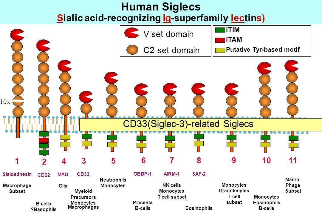 10x V-set domain C2-set domain 1 Sialoadhesin Macrophage Subset 2 CD22 B cells Basophils 4 MAG Glia 3 CD33 Myeloid Precursors Monocytes Macrophages Human Siglecs (Sialic acid-binding Ig-superfamily lectins) 5 Neutrophils Monocytes 6 OBBP-1 Placenta B-cells 11 Macro- Phage Subset 10 Monocytes Eosinophils B-cells 9 Monocytes Granulocytes T cell subset 8 SAF-2 Eosinophils 7 AIRM-1 NK cells Monocytes T cell subset CD33(Siglec-3)-related Siglecs ITIM ITAM Putative Tyr-based motif Human Siglecs Sialic acid-recognizing Ig-superfamily lectins)