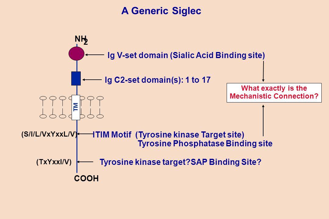 A Generic Siglec TM Ig C2-set domain(s): 1 to 17 NH 2 COOH Ig V-set domain (Sialic Acid Binding site) ITIM Motif (Tyrosine kinase Target site) Tyrosine Phosphatase Binding site (S/I/L/VxYxxL/V) Tyrosine kinase target SAP Binding Site.