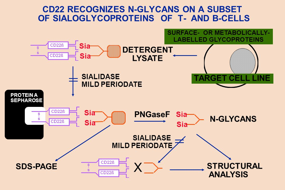 CD22 RECOGNIZES N-GLYCANS ON A SUBSET OF SIALOGLYCOPROTEINS OF T- AND B-CELLS DETERGENT LYSATE Sia TARGET CELL LINE SURFACE- OR METABOLICALLY- LABELLED GLYCOPROTEINS SIALIDASE MILD PERIODATE SDS-PAGE STRUCTURAL ANALYSIS SIALIDASE MILD PERIODATE PROTEIN A SEPHAROSE Sia PNGaseF N-GLYCANS Sia X