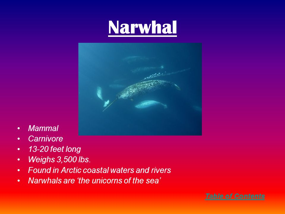 Narwhal Mammal Carnivore 13-20 feet long Weighs 3,500 lbs.
