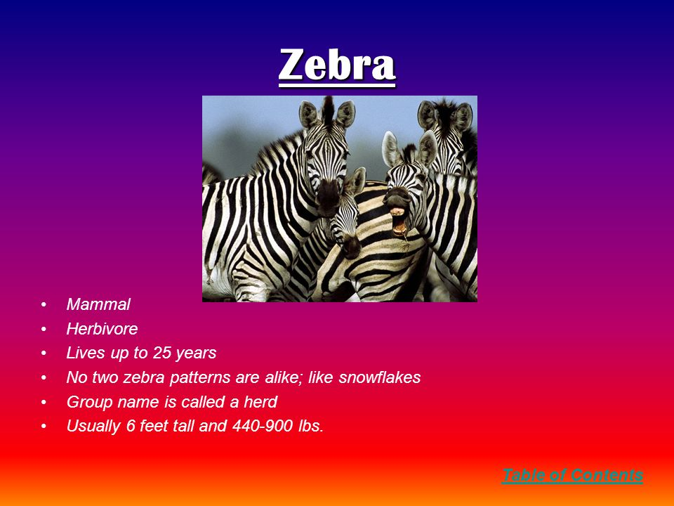 Zebra Mammal Herbivore Lives up to 25 years No two zebra patterns are alike; like snowflakes Group name is called a herd Usually 6 feet tall and 440-900 lbs.
