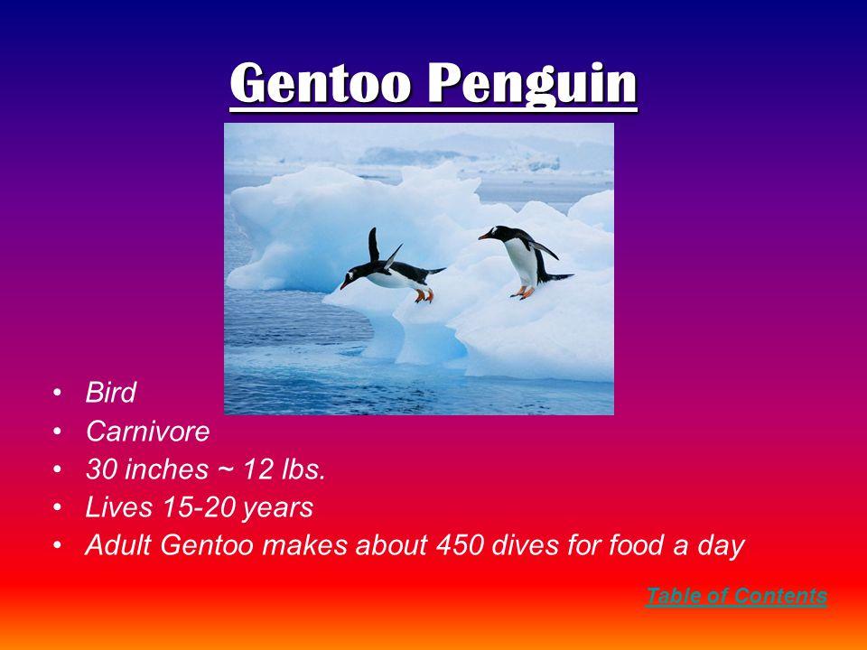 Gentoo Penguin Bird Carnivore 30 inches ~ 12 lbs.