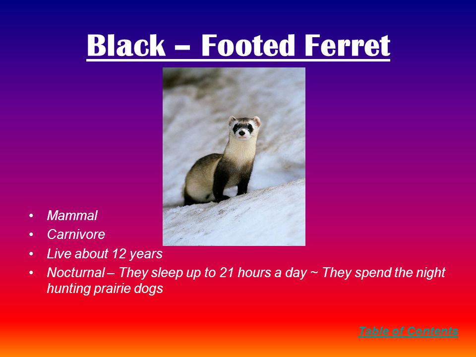 Black – Footed Ferret Mammal Carnivore Live about 12 years Nocturnal – They sleep up to 21 hours a day ~ They spend the night hunting prairie dogs Table of Contents