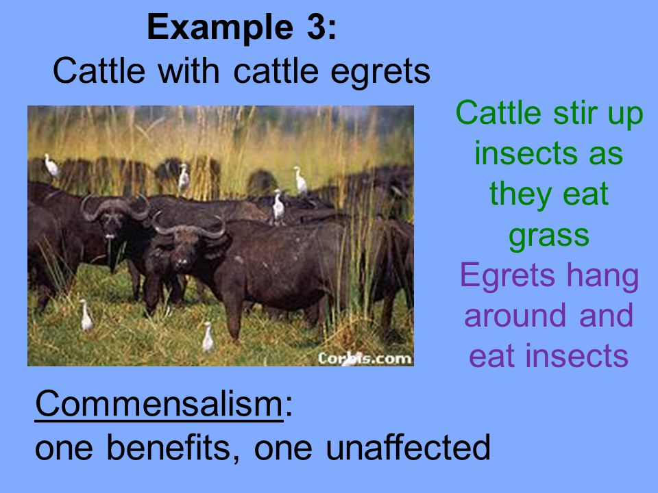 Commensalism: one benefits, one unaffected Example 3: Cattle with cattle egrets Cattle stir up insects as they eat grass Egrets hang around and eat insects