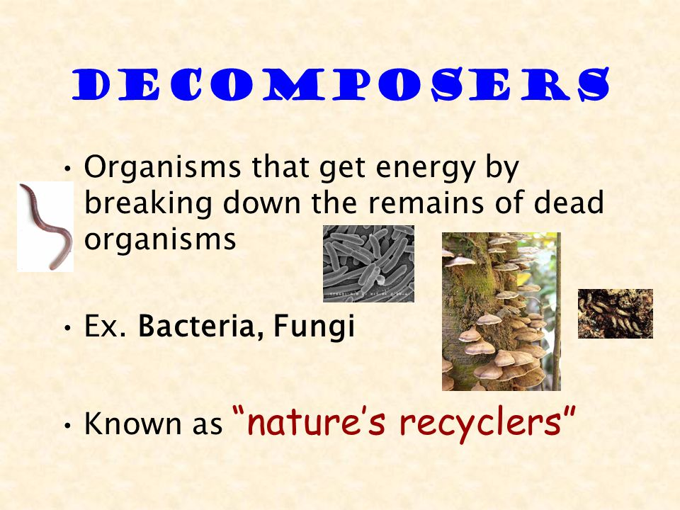 Decomposers Organisms that get energy by breaking down the remains of dead organisms Ex.