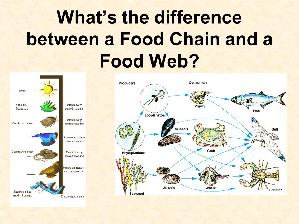 What's the difference between a Food Chain and a Food Web?
