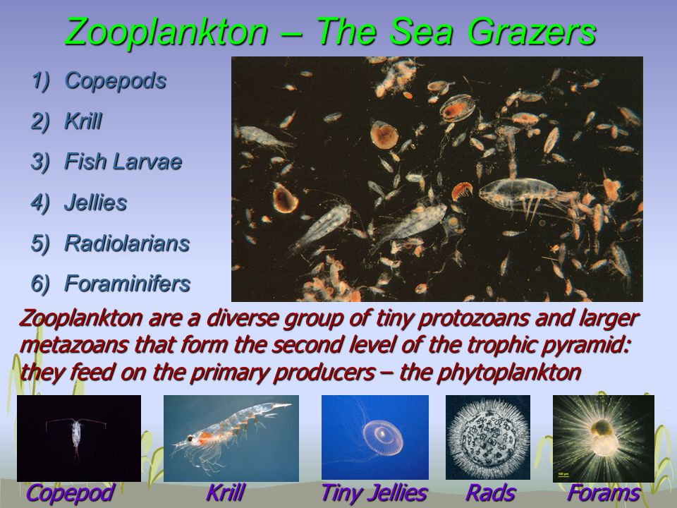 Zooplankton – The Sea Grazers 1)Copepods 2)Krill 3)Fish Larvae 4)Jellies 5)Radiolarians 6)Foraminifers Zooplankton are a diverse group of tiny protozoans and larger metazoans that form the second level of the trophic pyramid: they feed on the primary producers – the phytoplankton CopepodKrill Tiny Jellies RadsForams