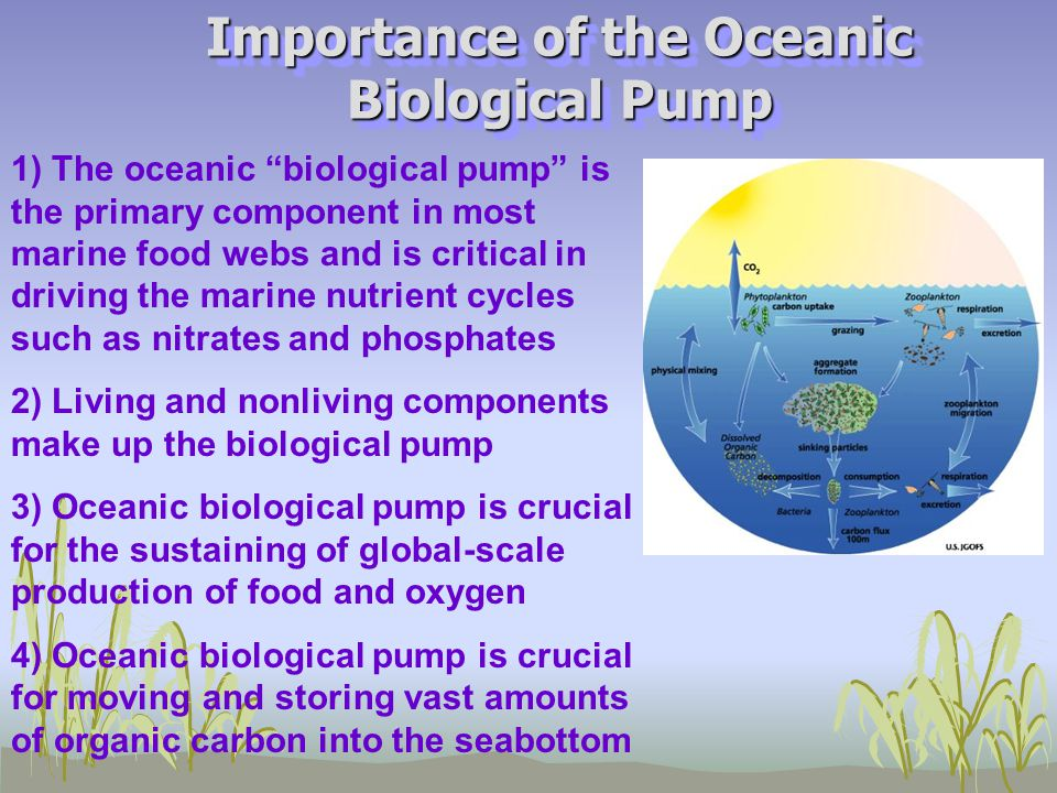 Main Concepts  Primary production is the conversion of nutrients with sunlight or chemical energy into carbohydrates by certain organisms  Photosynthesizing organisms are primary producers, or autotrophs  Primary producers form a critical link between the living and nonliving worlds and form the base of all marine communities  Types of primary producers include microalgae, cyanobacteria, and the macroalgae –- collected using nets and water filtration methods  Microalgae (called phytoplankton) include diatoms, dinoflagellates, coccolithophores, and silioflagellates; also picoplankton (bacteria)  Phytoplankton responsible for 50% of global productivity and oxygen  Primary productivity is measured using 1) dark-light bottle, carbon-14 tagging , and 2) chlorophyll levels.