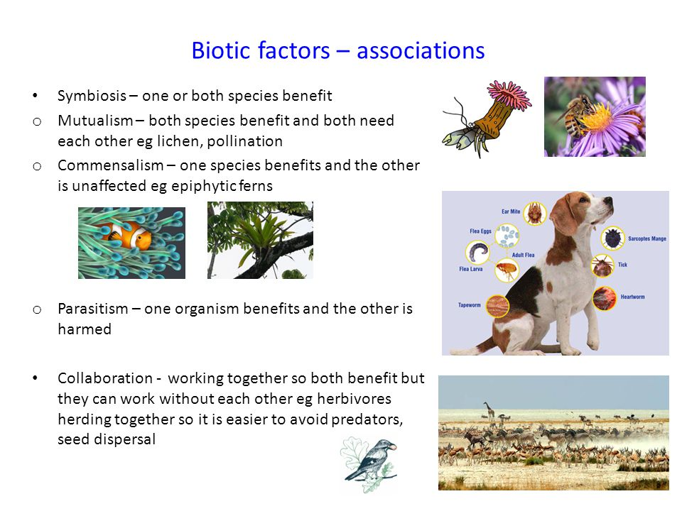 Biotic factors – associations Symbiosis – one or both species benefit o Mutualism – both species benefit and both need each other eg lichen, pollinati