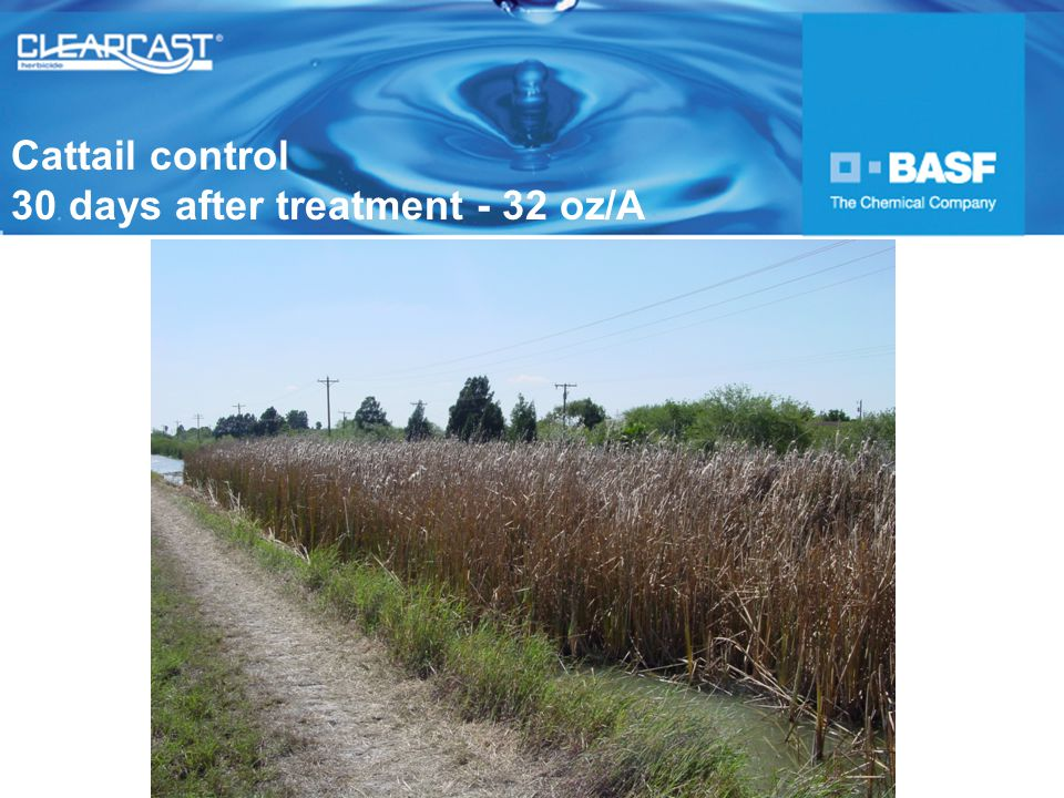 Cattail control 30 days after treatment - 32 oz/A