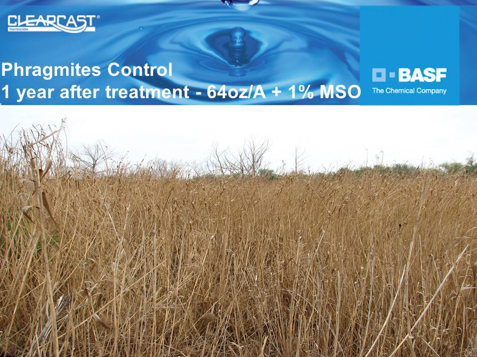 Phragmites Control 1 year after treatment - 64oz/A + 1% MSO