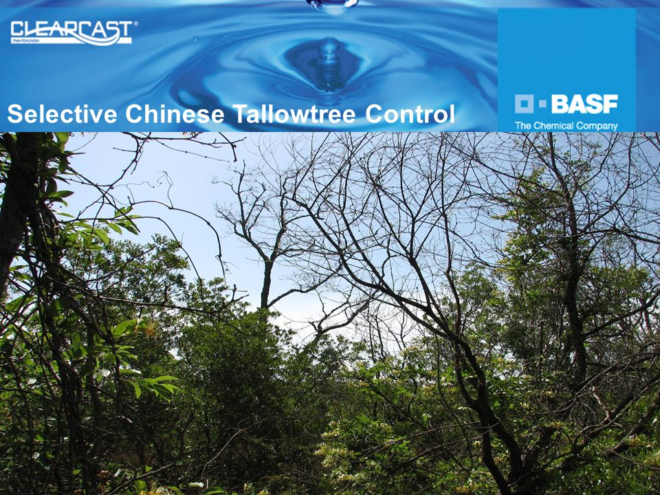 Selective Chinese Tallowtree Control