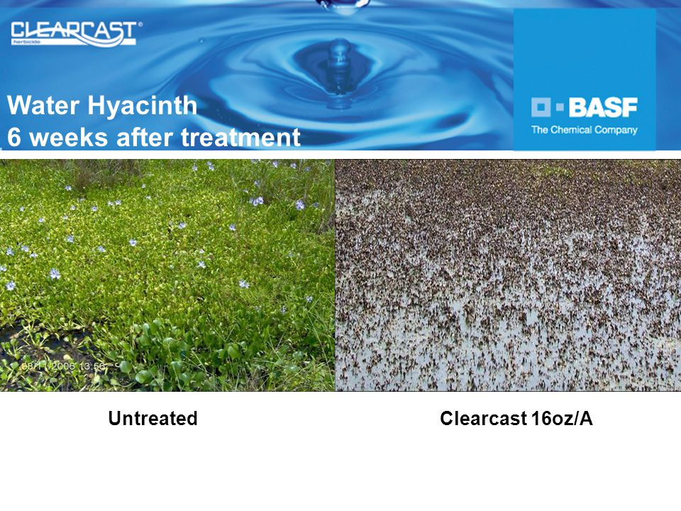 UntreatedClearcast 16oz/A Water Hyacinth 6 weeks after treatment