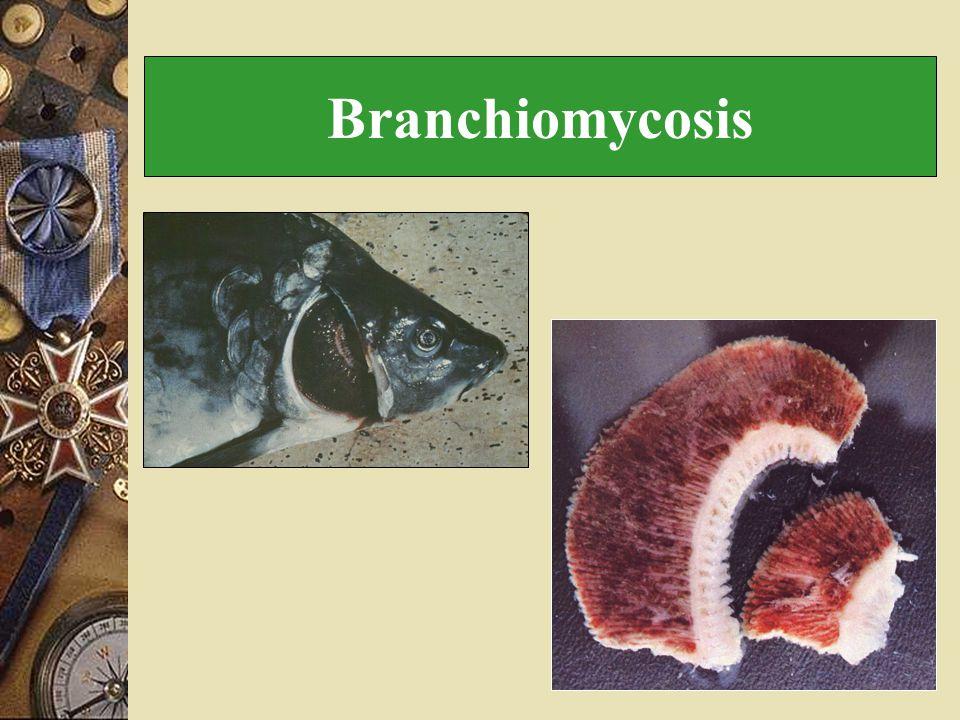 Branchiomycosis