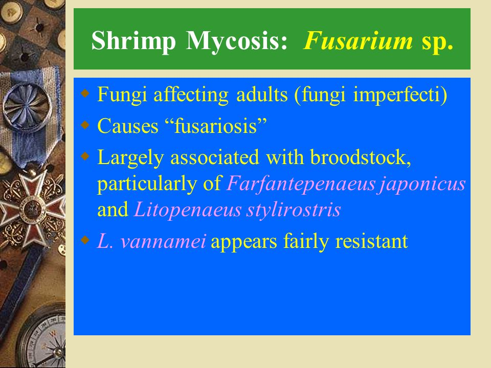 Shrimp Mycosis: Fusarium sp.