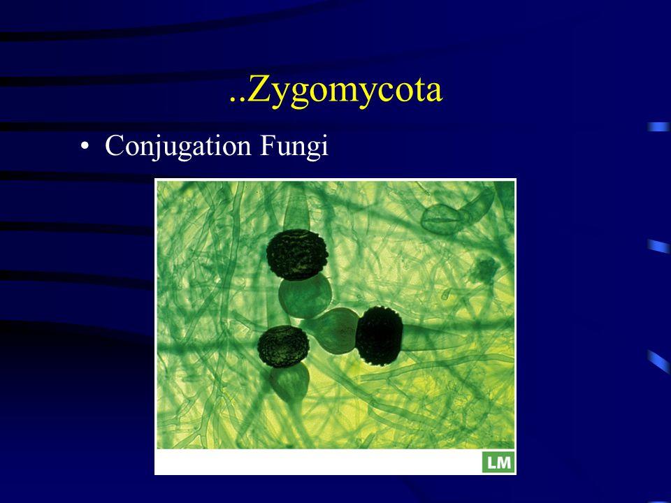 ..Zygomycota Conjugation Fungi