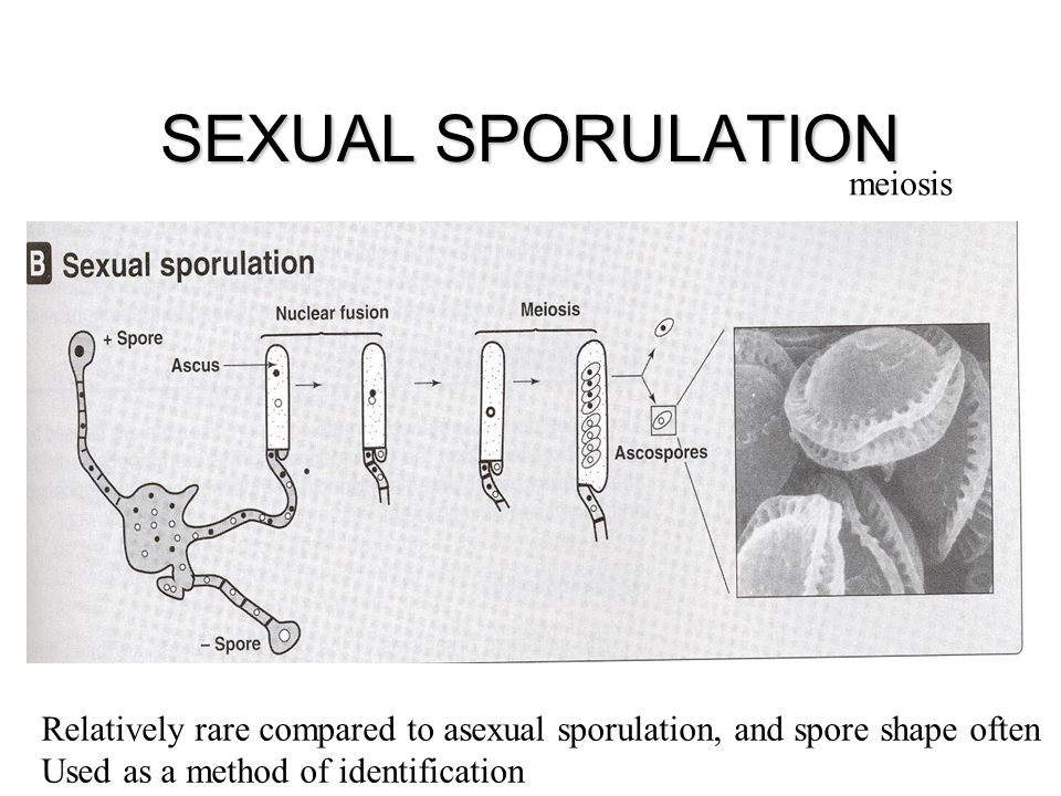 SEXUAL SPORULATION meiosis Relatively rare compared to asexual sporulation, and spore shape often Used as a method of identification