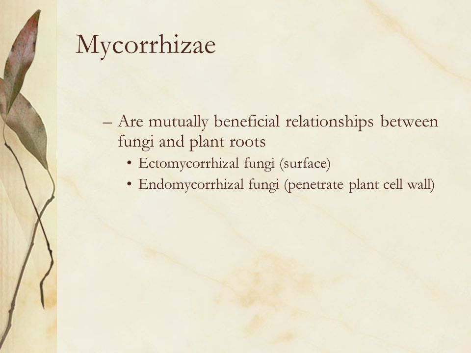 Mycorrhizae –Are mutually beneficial relationships between fungi and plant roots Ectomycorrhizal fungi (surface) Endomycorrhizal fungi (penetrate plan