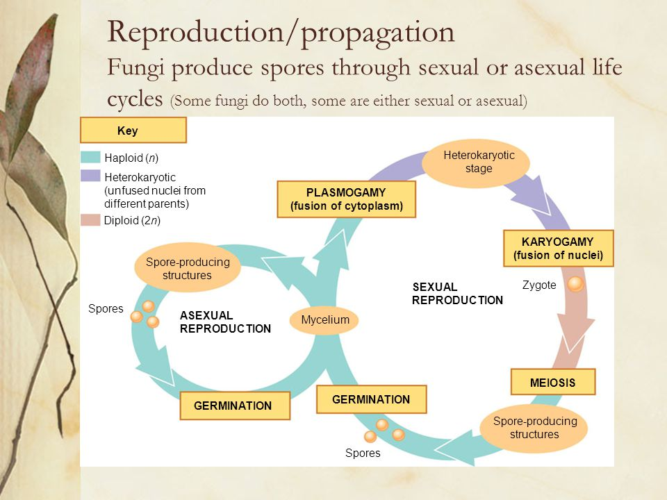 Reproduction/propagation Fungi produce spores through sexual or asexual life cycles (Some fungi do both, some are either sexual or asexual) The genera