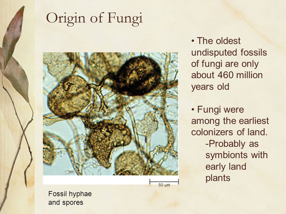 Origin of Fungi 50  m The oldest undisputed fossils of fungi are only about 460 million years old Fungi were among the earliest colonizers of land. -