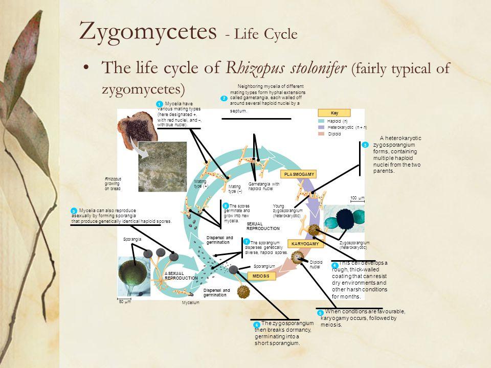 Rhizopus growing on bread ASEXUAL REPRODUCTION Mycelium Dispersal and germination MEIOSIS KARYOGAMY PLASMOGAMY Key Haploid (n) Heterokaryotic (n + n)