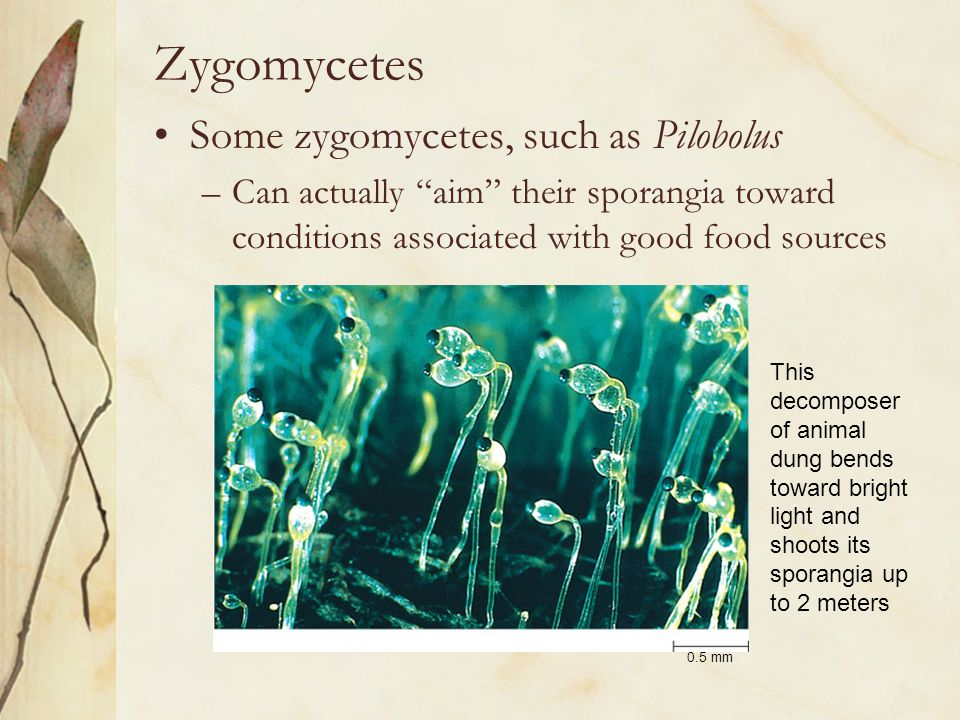 """Zygomycetes Some zygomycetes, such as Pilobolus –Can actually """"aim"""" their sporangia toward conditions associated with good food sources 0.5 mm This de"""