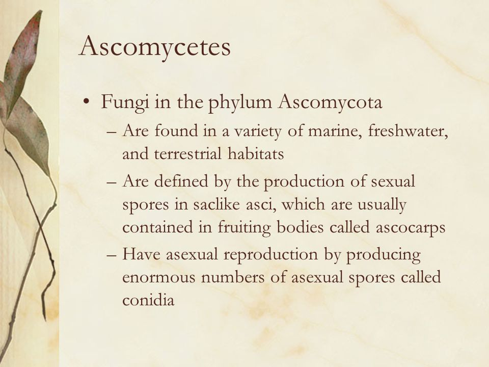 Ascomycetes Fungi in the phylum Ascomycota –Are found in a variety of marine, freshwater, and terrestrial habitats –Are defined by the production of s