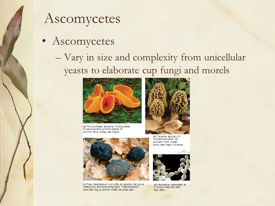 Ascomycetes –Vary in size and complexity from unicellular yeasts to elaborate cup fungi and morels (a) The cup-shaped ascocarps (fruiting bodies) of A