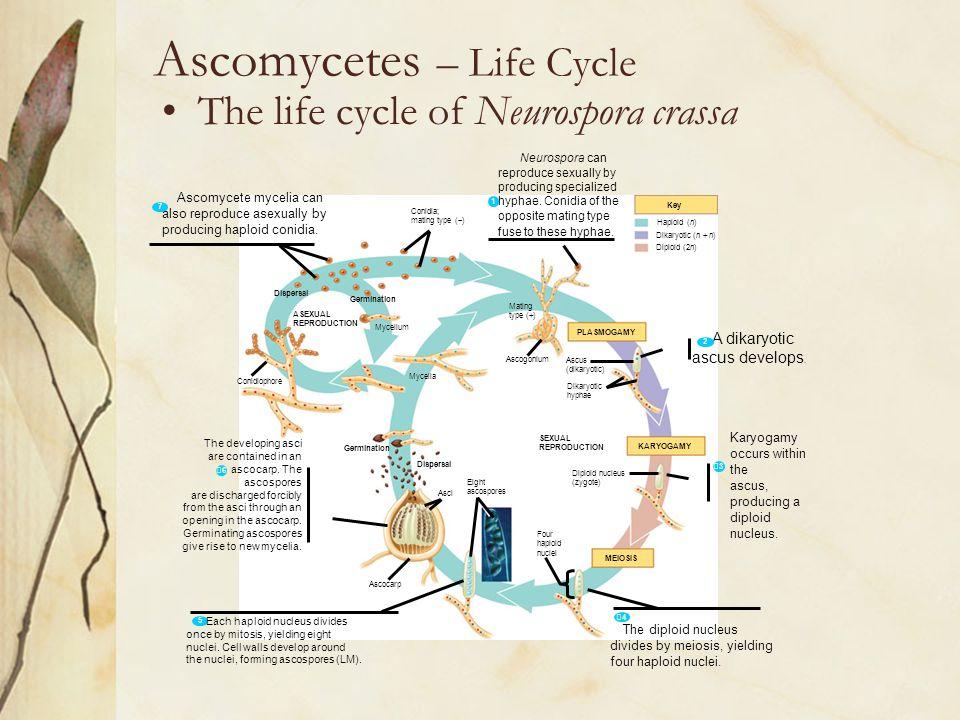 Ascomycetes – Life Cycle The life cycle of Neurospora crassa Dispersal ASEXUAL REPRODUCTION Germination Mycelium Conidiophore Germination Dispersal My