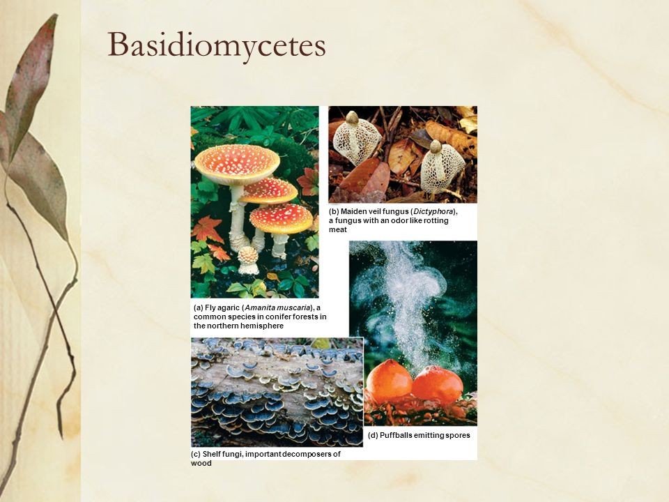 Basidiomycetes (a) Fly agaric (Amanita muscaria), a common species in conifer forests in the northern hemisphere (b) Maiden veil fungus (Dictyphora),